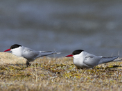 Two Arctic terns sitting on the arctic tundra and looking around, near Arviat