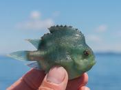 Closeup of a lumpfish