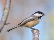 New Brunswick's provincial bird