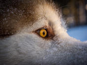 Eye of the Malamute