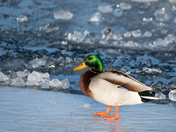 Chilled Duck