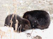 Beavers on the riverbank