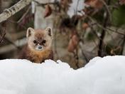 Snowy Pine Marten