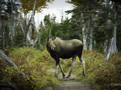 Moose in The Way