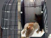 Red squirrel- escape route