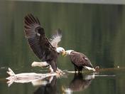 Bald Eagle Love
