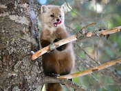 Marten in the Pines