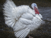 White Eastern Wild Turkey