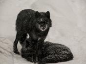 Snowed In Wolves