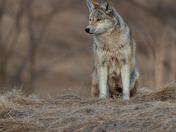 Coyote Male