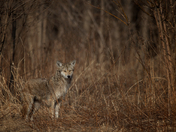 Coyote walking the Tree line looking for Prey