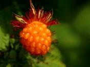 Hairy Berry