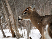 A Buck in the Snow