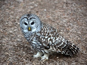 Owl on the ground.