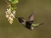 Anna's Hummingbird (2181)