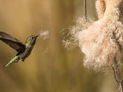 Anna's Hummingbird (1709)