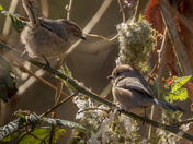 Bushtits Working on Their Nest (2577)