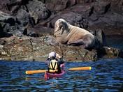 Bull Walrus in Bay Bulls