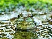 Handsome Frog