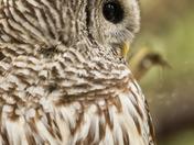 Barred Owl (3043)