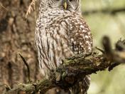 Barred Owl (2997)