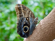 The Blue Morpho Butterfly