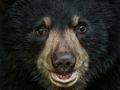 Black Bear Cyb