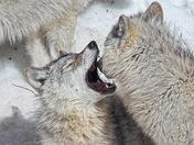 Wolves at Play