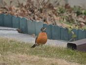 Robin Waiting....