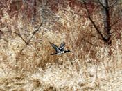 Merganser duck in flight