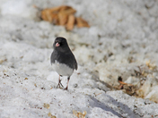 Happy  junco
