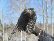 Northern Hawk