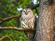 Male Barred Owl.