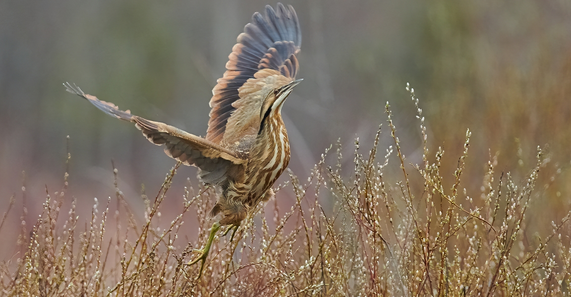 American Bittern Takes Flight