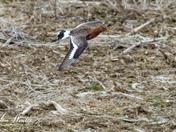 Long-tailed Godwit