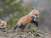 Red fox kit play