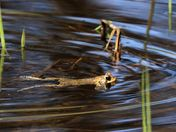 Spring frogs at the marsh photo #1