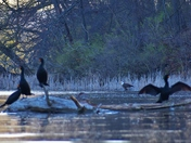 There, behind the cormorants...bald eagle is.