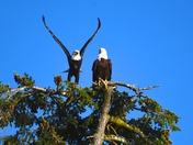 Nesting Bald Eagles.
