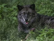 Close Up Of Timber Wolf