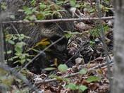 Hungry Raccoon