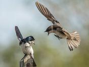 Tree Swallows (6999)