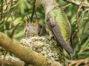 Anna's Hummingbird at Nest (5510)