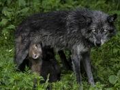 Mom Feeding Pups