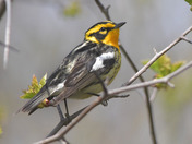 Blackburian Warbler