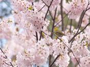 Amazingly beautiful cherry blossom
