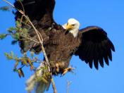 Leaping Eagle