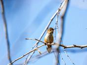 west coast Hummingbird