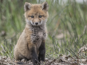 Fox kit with trophy feathers