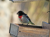 rose brested grosbeak